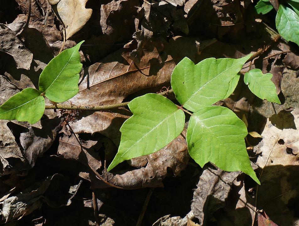 poison-ivy-1652109-960-720.jpg