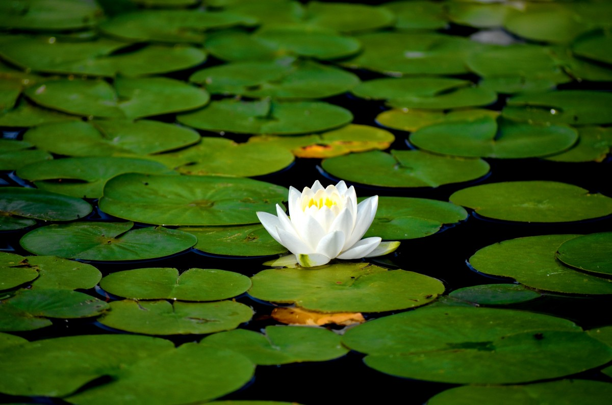 white-water-lily.jpg